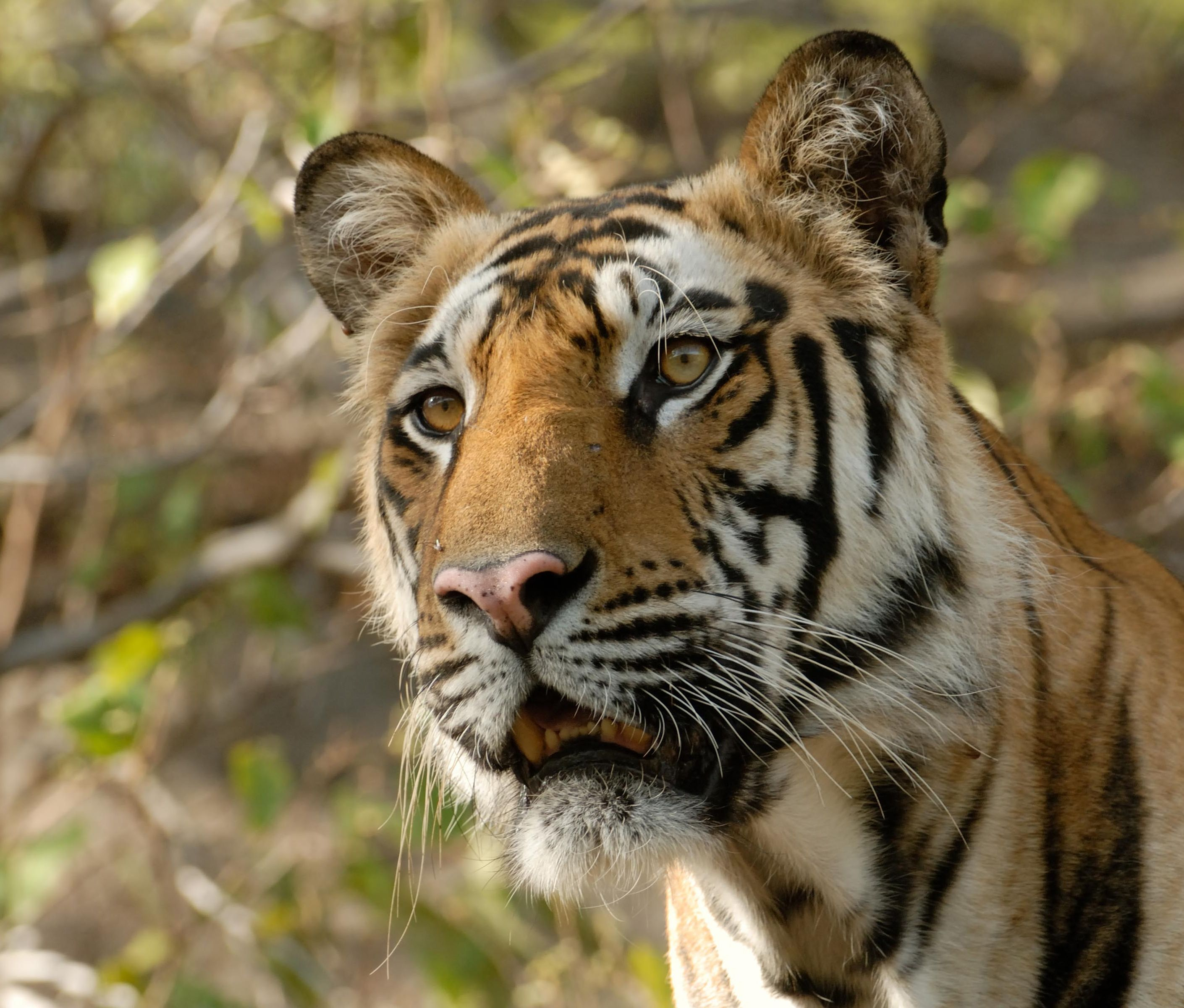 How to go 'tiger trekking' in India's Ranthambore National Park