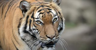 Tiger at Bronx Zoo in New York Tests Positive for Coronavirus